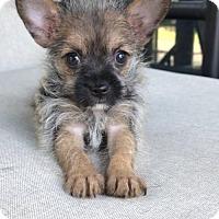 Adopt A Pet :: Midget - Weston, FL
