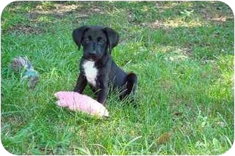 Terrier (Unknown Type, Medium) Mix Puppy for adoption in Baton Rouge, Louisiana - Brady
