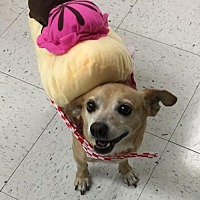 Chihuahua Dog for adoption in Fresno, California - Patches the Dispatch dog