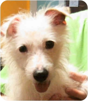 Jack Russell Terrier Dog for adoption in Louisville, Kentucky - Ivan: ADOPTED!!
