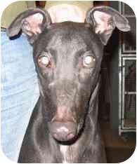 Greyhound Dog for adoption in Gerrardstown, West Virginia - Pals Banjo