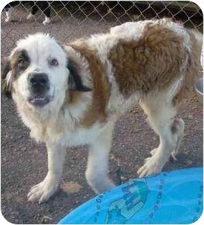 St. Bernard Puppy for adoption in Liberty, South Carolina - Ella