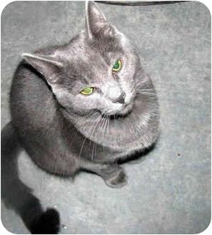 British Shorthair Cat for adoption in Xenia, Ohio - Duke