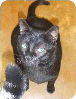 Domestic Shorthair Cat for adoption in Lake Charles, Louisiana - Big Boy