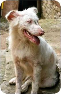 Australian Shepherd Puppy for adoption in Blooming Prairie, Minnesota - Siloam