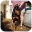 Photo 1 - Doberman Pinscher Dog for adoption in Arlington, Virginia - Belle