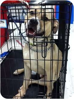 Mastiff/Boxer Mix Dog for adoption in Warren, Michigan - Bradley