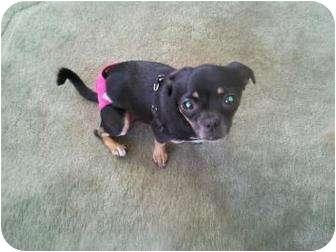 Chihuahua/Japanese Chin Mix Dog for adoption in Tucson, Arizona - Trixie
