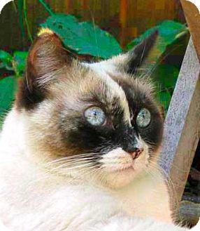 Snowshoe Cat for adoption in Davis, California - Blossom