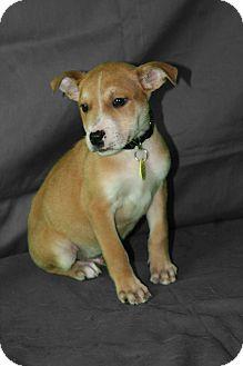 Golden Retriever/Shepherd (Unknown Type) Mix Puppy for adoption in Westminster, Colorado - Gilligan