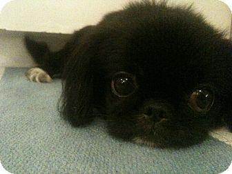 Pekingese Dog for adoption in Toronto/Etobicoke/GTA, Ontario - Gezomina