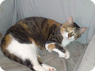 Calico Cat for adoption in london, Ontario - Lace