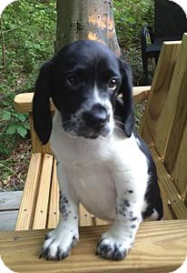 English Springer Spaniel Mix Puppy for adoption in Richmond, Virginia - Cass