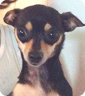 Chihuahua Mix Dog for adoption in Orlando, Florida - Stacey