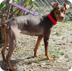 Chihuahua Mix Dog for adoption in Bradenton, Florida - Sweetie Pie