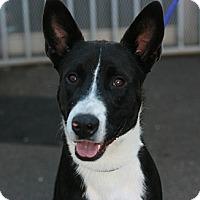Adopt A Pet :: Nicki - Canoga Park, CA