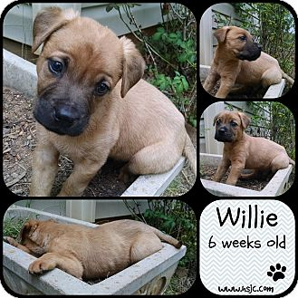 Boxer Mix Puppy for adoption in Jefferson, Georgia - Willie