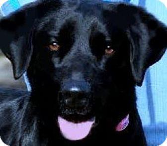 Labrador Retriever Dog for adoption in Wakefield, Rhode Island - PATTI(ADORES CHILDREN!!!)