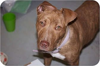American Pit Bull Terrier Mix Puppy for adoption in Sunnyvale, California - Ginger