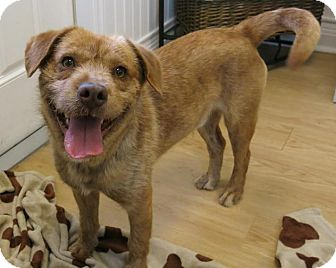Border Terrier/Golden Retriever Mix Dog for adoption in High Point, North Carolina - Poncho