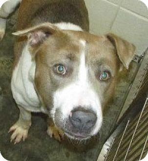 American Bulldog Mix Dog for adoption in Aiken, South Carolina - BRODIE