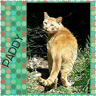 Domestic Shorthair Cat for adoption in Walnut Creek, California - Paddy