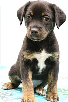 Doberman Pinscher/Labradoodle Mix Puppy for adoption in Allentown, Pennsylvania - Rogue