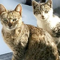 Domestic Shorthair Cat for adoption in Brooklyn, New York - Furbabies Need Homes ASAP!!!