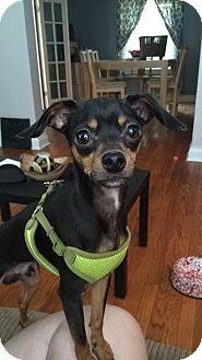 Miniature Pinscher/Chihuahua Mix Dog for adoption in ST LOUIS, Missouri - Armani
