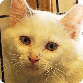 Domestic Longhair Kitten for adoption in Sprakers, New York - Archer