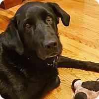 Adopt A Pet :: Leyla - Chicago, IL