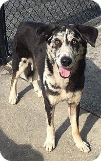 Catahoula Leopard Dog/Shepherd (Unknown Type) Mix Dog for adoption in Ocean Ridge, Florida - Robbie