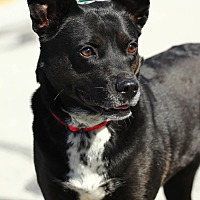 Cattle Dog/Boston Terrier Mix Dog for adoption in Lafayette, Indiana - Cricket