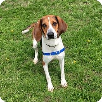 Treeing Walker Coonhound Mix Dog for adoption in Janesville, Wisconsin - Maggie May
