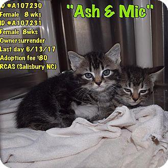 Maine Coon Kitten for adoption in Salisbury, North Carolina - Ash and Mic