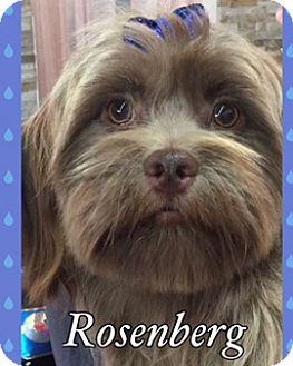 Lhasa Apso Mix Dog for adoption in Sarasota, Florida - Rosenberg