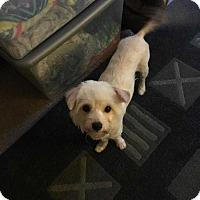 Adopt A Pet :: Lily - Livermore, CA