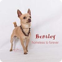 Adopt A Pet :: Bentley - Sherman Oaks, CA