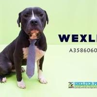American Pit Bull Terrier Mix Dog for adoption in San Angelo, Texas - 'Wexler' K31 - 7/10/17