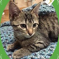 Domestic Shorthair Kitten for adoption in Mt. Prospect, Illinois - Belle