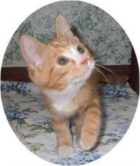 Domestic Shorthair Kitten for adoption in Brighton, Michigan - Nolan