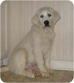 Great Pyrenees Puppy for adoption in Evansville, Indiana - Rex