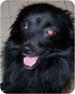 Pomeranian Puppy for adoption in Marion, Indiana - ZIGGY