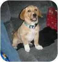 Basset Hound/Labrador Retriever Mix Puppy for adoption in Cincinnati, Ohio - Maggie
