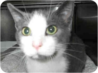 Domestic Shorthair Cat for adoption in San Clemente, California - SCOTTY