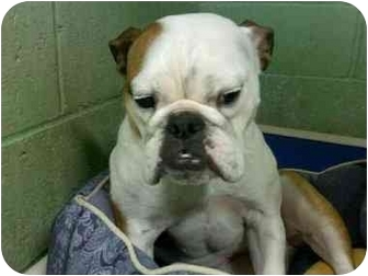 English Bulldog Dog for adoption in Brewster, New York - Zoe
