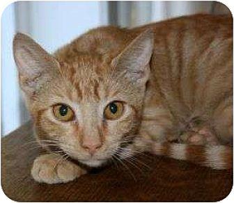 Domestic Shorthair Cat for adoption in Canoga Park, California - CVS