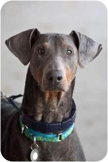 Doberman Pinscher Dog for adoption in Rochester/Buffalo, New York - Knuckles