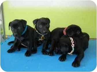 Labrador Retriever/Schipperke Mix Puppy for adoption in Concord, California - Lab / Schipperke Pups