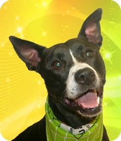 Pit Bull Terrier Mix Dog for adoption in Cincinnati, Ohio - Whiskey